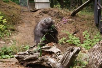 Hungry Porcupine