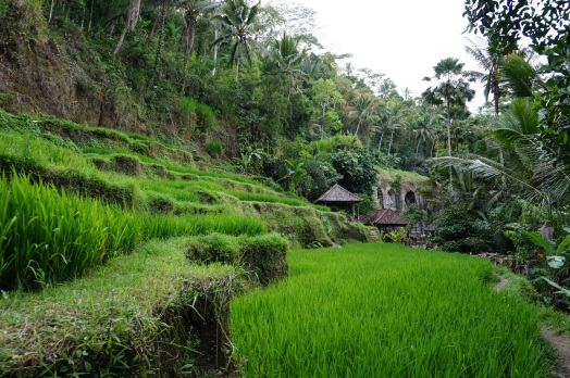Temple rice fields