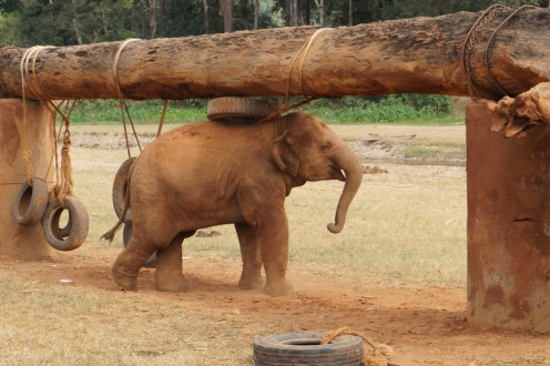 Baby elephant playing with his tire